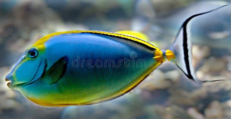 Peixes tropicais 21 imagem de stock