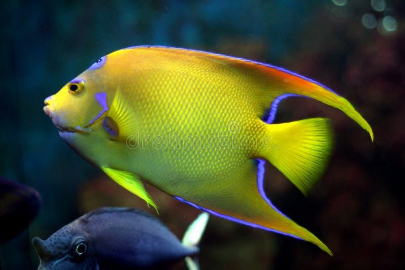 Peixes tropicais amarelos