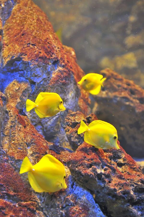 Peixes tropicais amarelos, fim acima fotografia de stock royalty free