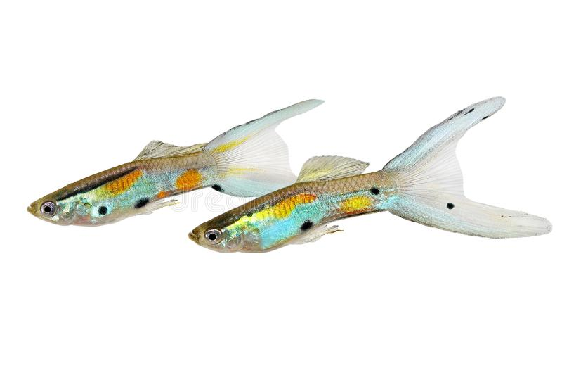 Peixes tropicais coloridos do aquário do wingei masculino de néon de Poecilia dos Guppies de Swordtail do dobro do Guppy de Endle fotografia de stock royalty free