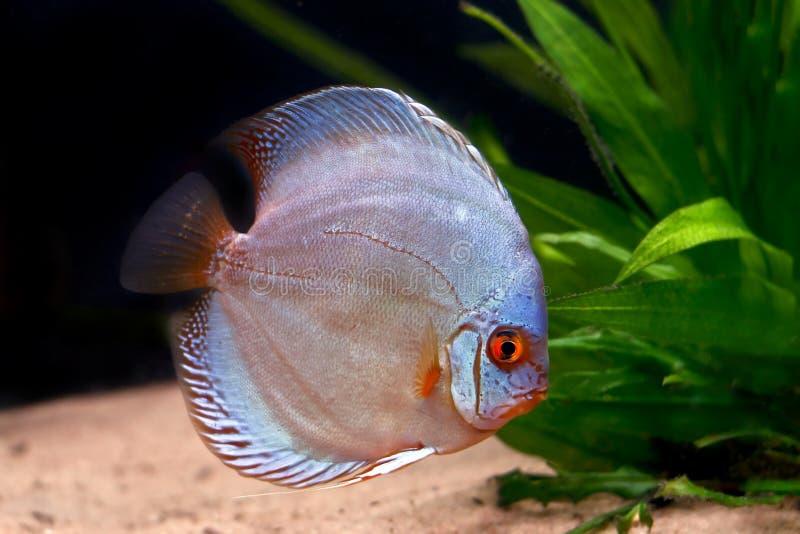 Peixes tropicais coloridos do disco fotografia de stock