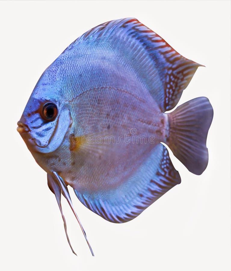 Peixes tropicais coloridos do disco imagens de stock royalty free