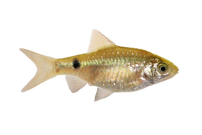 Peixes tropicais de água doce do aquário do conchonius de Rosy Barb Female Pethia imagens de stock