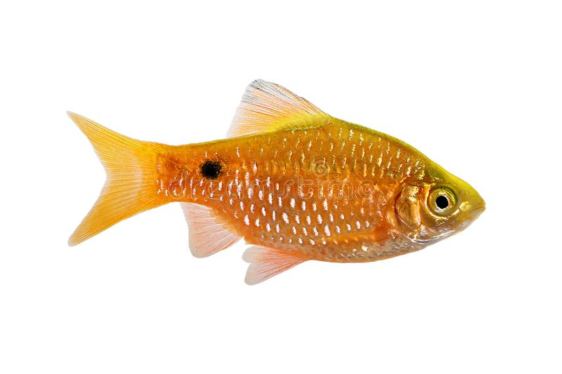 Peixes tropicais de água doce do aquário do conchonius de Rosy Barb Male Pethia fotos de stock royalty free