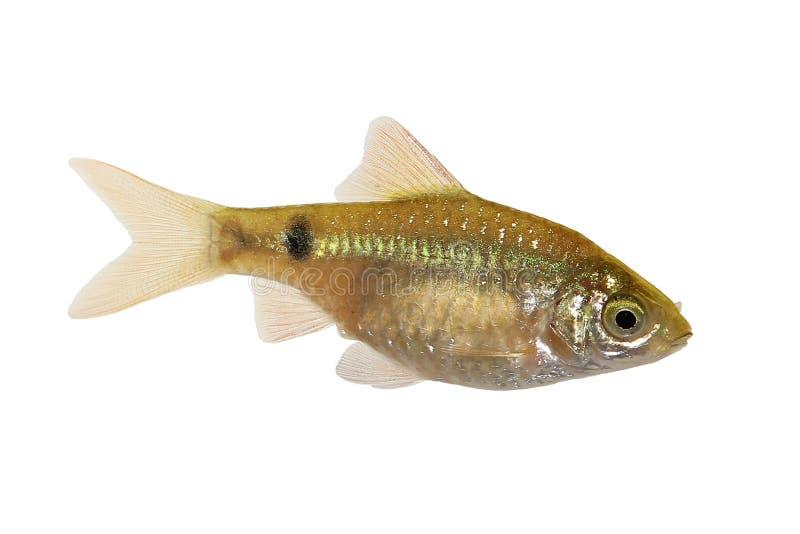 Peixes tropicais de água doce do aquário do conchonius de Rosy Barb Male Pethia imagem de stock royalty free