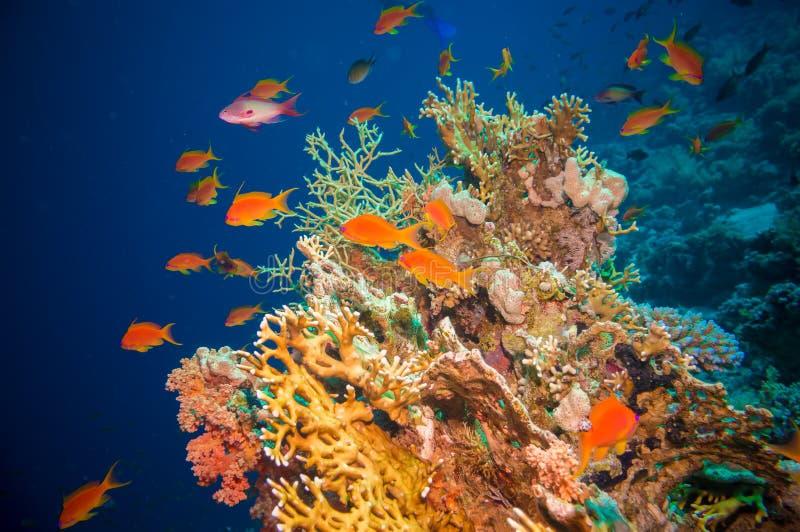 Peixes tropicais de Anthias com corais líquidos do fogo foto de stock