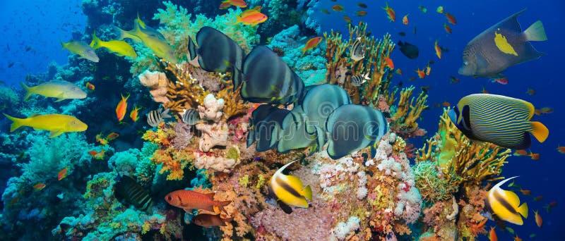 Peixes tropicais de Anthias com corais líquidos do fogo fotografia de stock royalty free