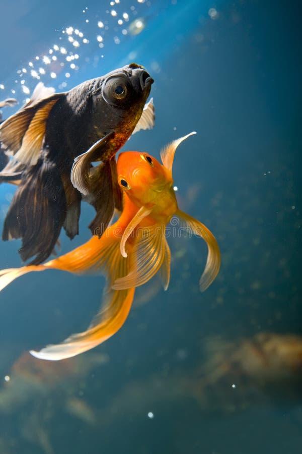 Peixes tropicais do aquário foto de stock