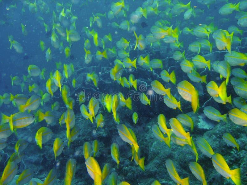 Peixes tropicais do recife coral fotos de stock