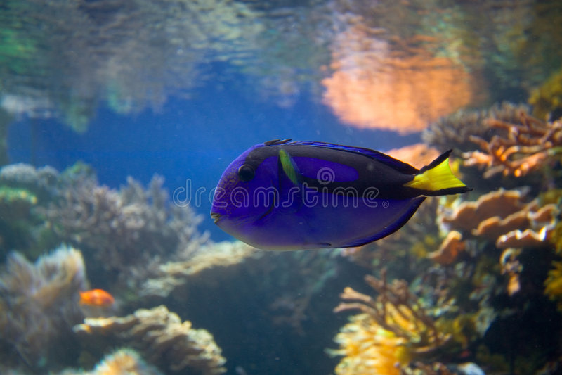 Peixes tropicais do recife coral fotos de stock royalty free