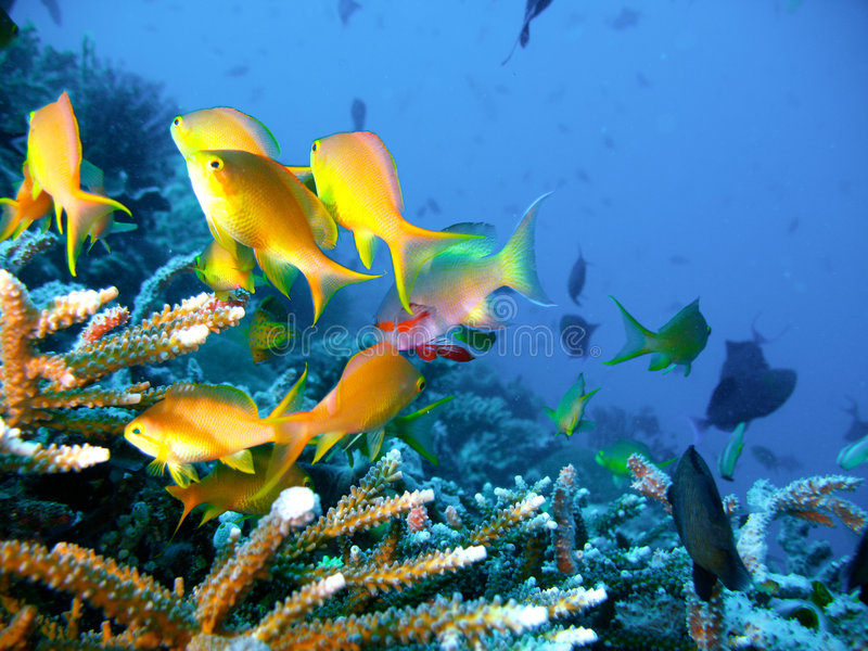 Peixes tropicais do recife coral imagens de stock