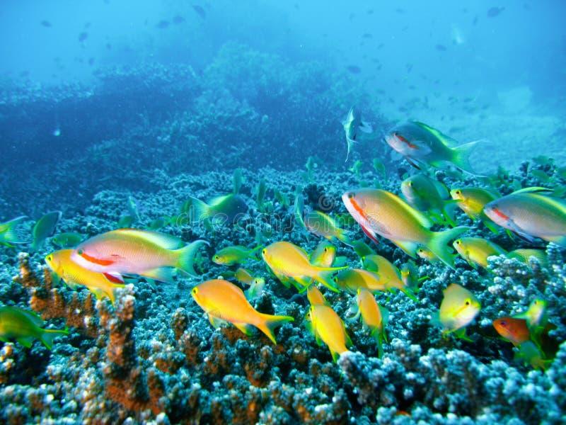Peixes tropicais do recife coral imagens de stock royalty free
