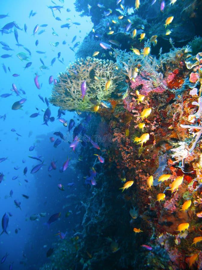 Peixes tropicais do recife coral foto de stock