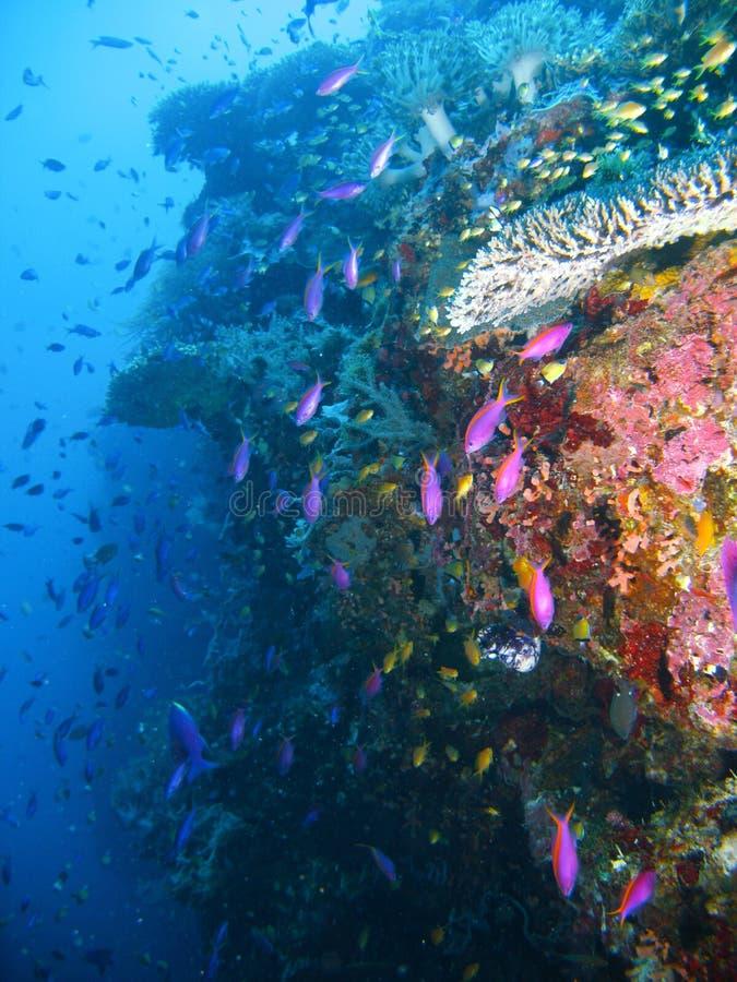 Peixes tropicais do recife de corais imagens de stock