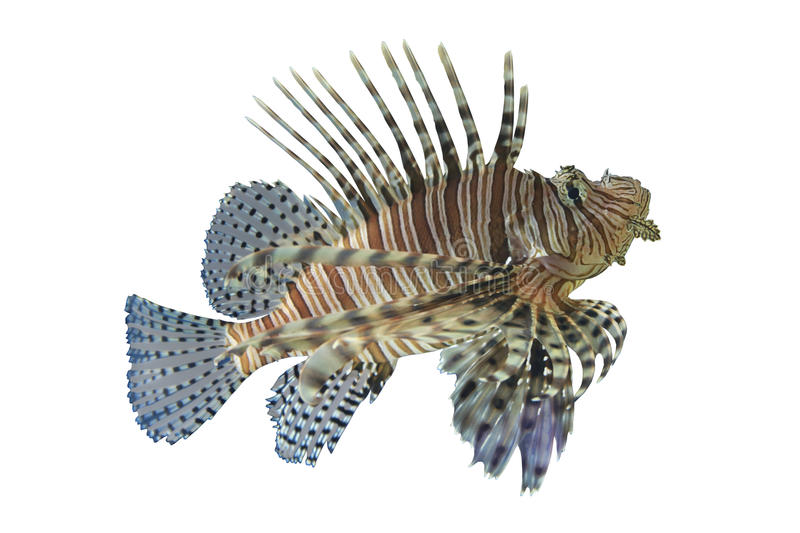 Peixes tropicais do recife de corais dos volitans do Lionfish ou do Pterois, Lionfish h fotografia de stock