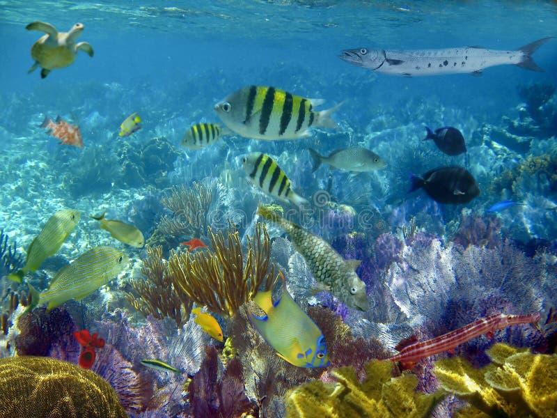 Peixes tropicais do recife do Cararibe subaquáticos fotos de stock royalty free