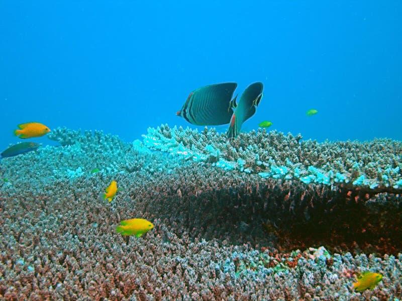 Peixes tropicais e recife coral imagem de stock royalty free