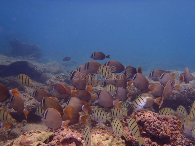 Peixes tropicais em Havaí imagens de stock