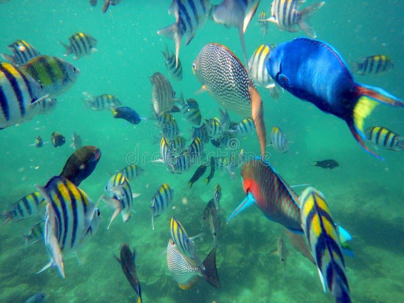 Peixes tropicais, Koh Phi Phi Don Island, mar de Andaman, Tailândia imagem de stock royalty free
