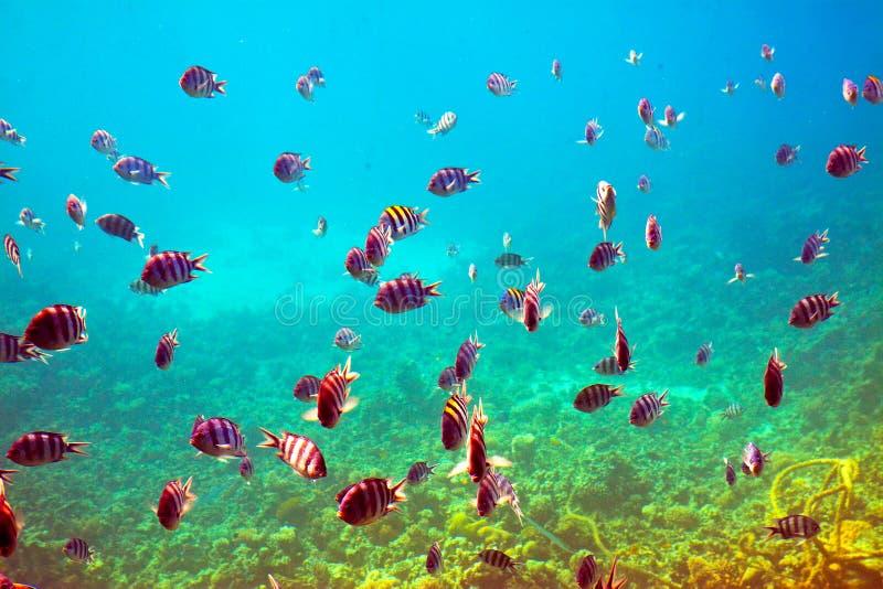 Peixes tropicais na área do recife coral foto de stock royalty free
