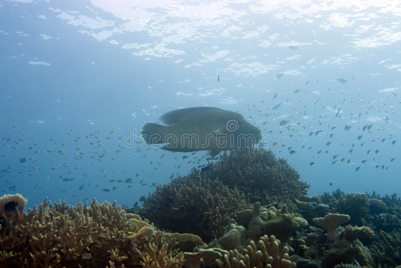 Peixes tropicais Napoleon. imagens de stock