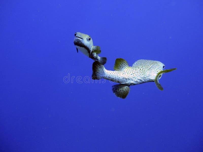 Peixes tropicais no oceano imagem de stock