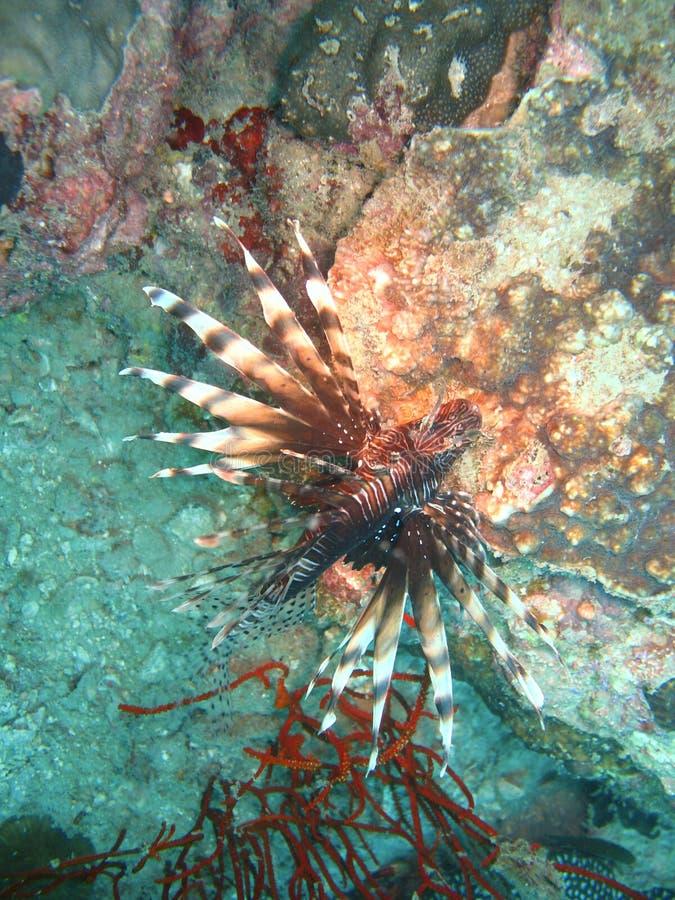 Peixes tropicais no recife coral imagem de stock
