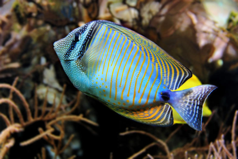Peixes tropicais nos recifes de corais imagem de stock