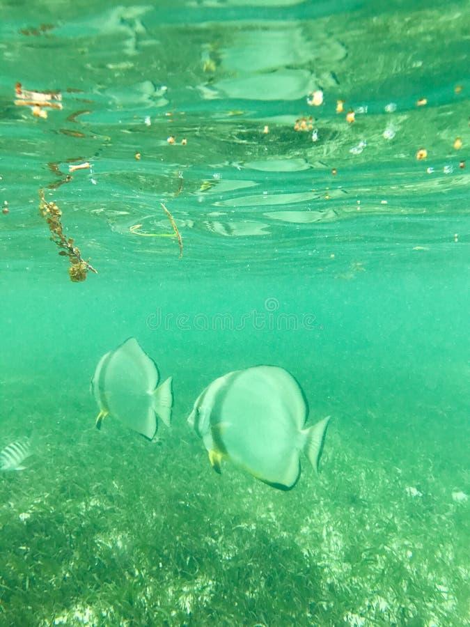 Peixes tropicais subaquáticos imagem de stock