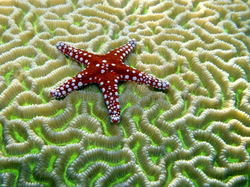 Peixes vermelhos da estrela no coral de cérebro