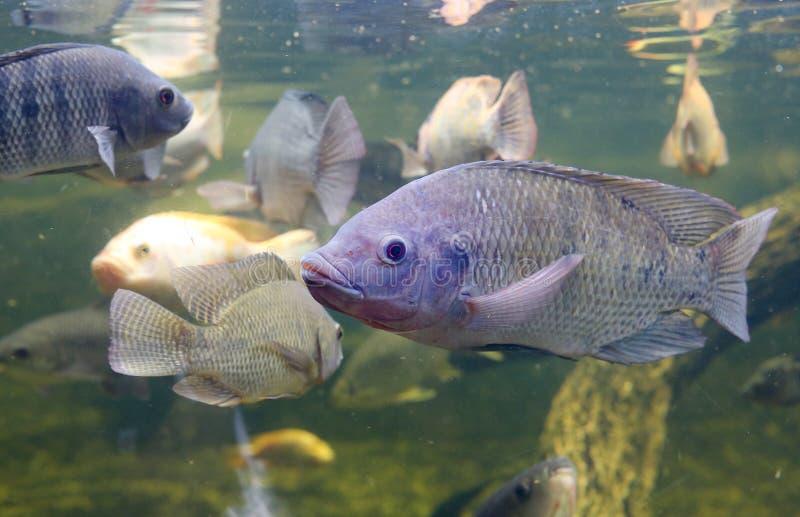 Peixes vermelhos do Tilapia que nadam em uma lagoa imagem de stock royalty free