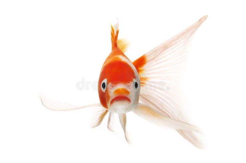 Peixes vermelhos e brancos de Koi fotos de stock royalty free