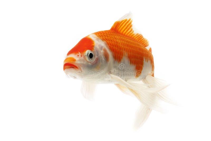 Peixes vermelhos e brancos de Koi imagens de stock