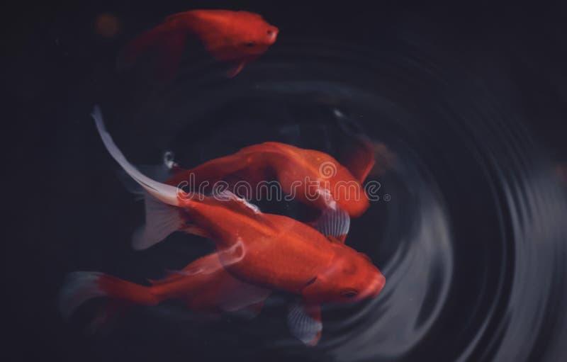 Peixes vermelhos na água imagens de stock