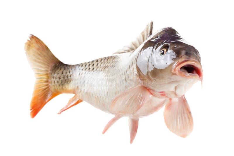 Peixes vivos da carpa isolados no fundo branco fotos de stock