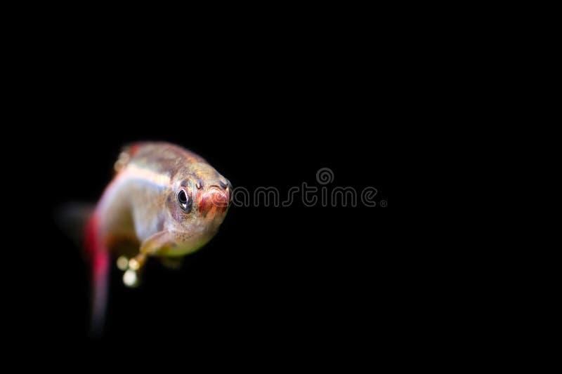 Peixinho de rio branco da montanha da nuvem Foto dos peixes do aquário da cara completa Profundidade de campo rasa Fundo preto vi imagens de stock