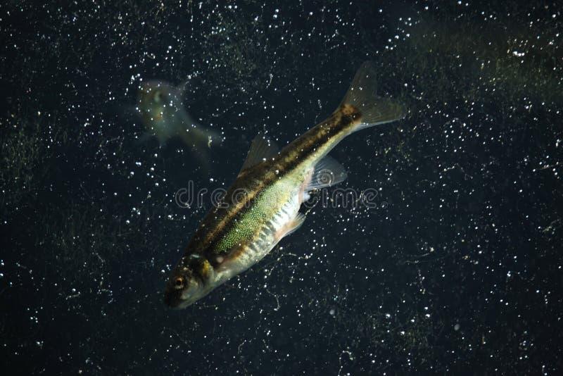Peixinho de rio comum (phoxinus do Phoxinus) fotos de stock royalty free