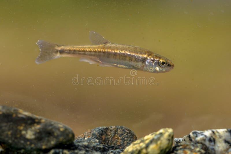 Peixinho de rio euro-asiático que nada no rio imagens de stock