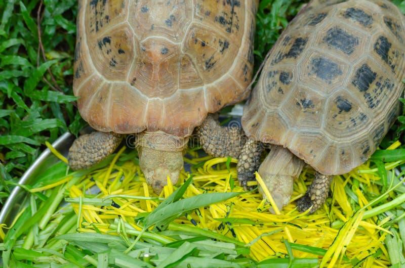 Pek†‹die tortoises†‹voedsel eten stock afbeelding
