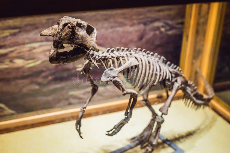 Pekín China, el 16 de octubre de 2018: Esqueleto del dinosaurio, rex del tiranosaurio en luz dramática fotografía de archivo libre de regalías