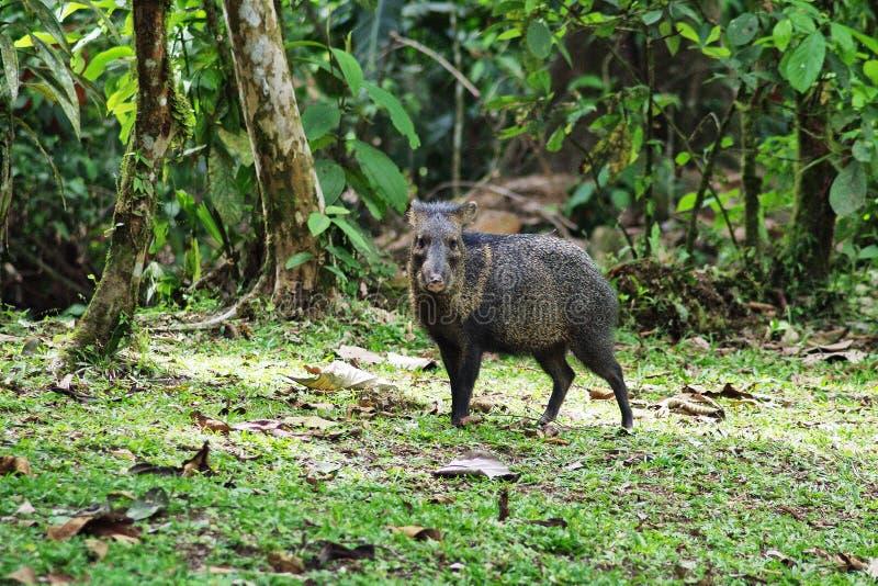 Pekari, Costa Rica stock fotografie