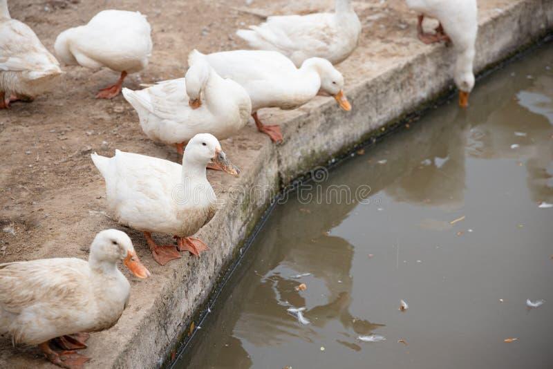 Pekin群或白色Pekin鸭子 免版税库存照片