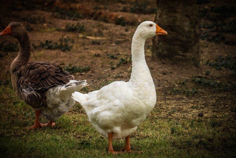 Pekin鸭子在公园 免版税库存照片
