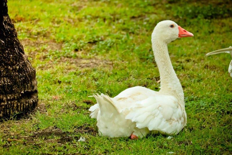 Pekin鸭子在公园 免版税库存图片