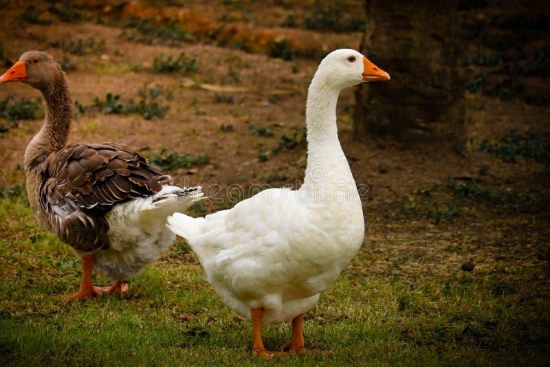 Pekin鸭子在公园 库存图片