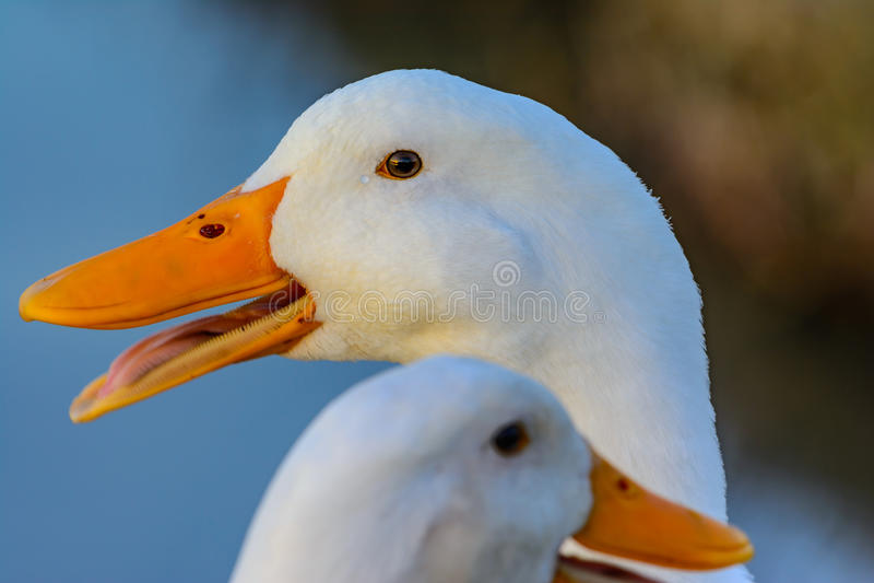 pekin鸭子抓住日落的光便餐在眼睛的.