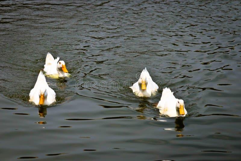 Pekin鸭子摇摆 图库摄影