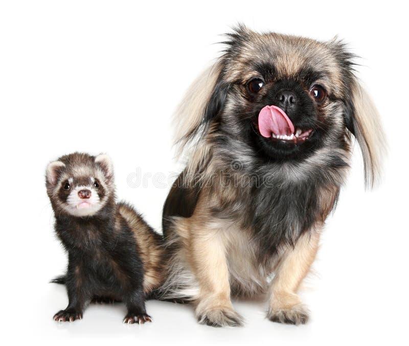 Pekinese and ferret stock photo