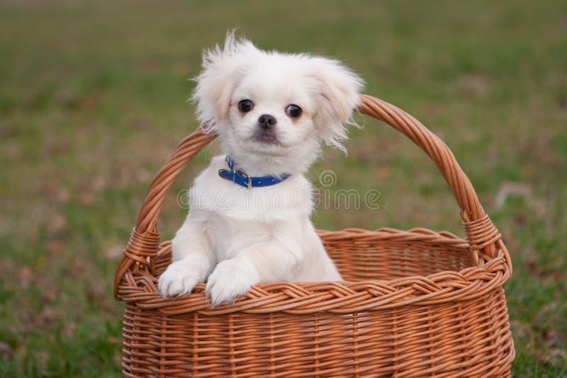 Pekinese puppy stock photos