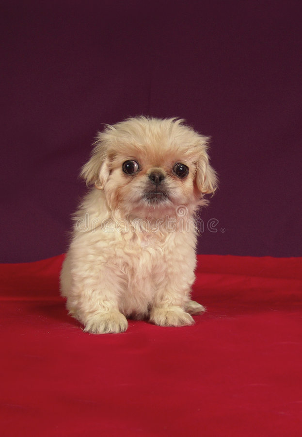 Pekinese puppy sit stock photos